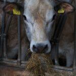 Stal koe